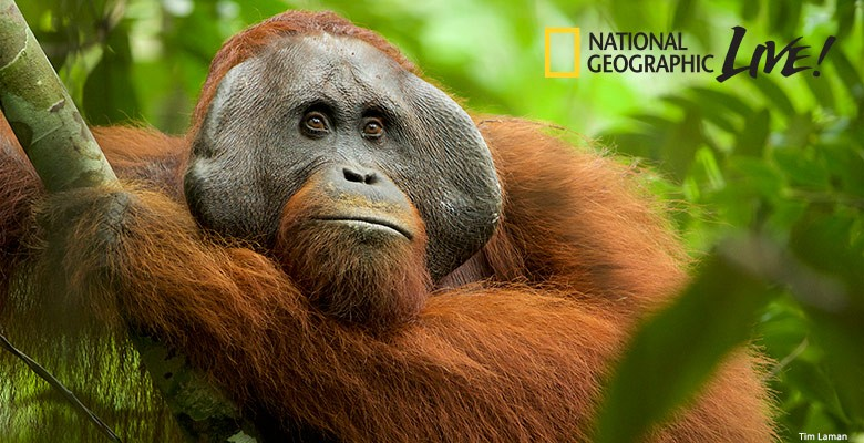Portland'5 presents NATIONAL GEOGRAPHIC LIVE—ADVENTURES AMONG ORANGUTANS | Tim Laman, Photographer & Cheryl Knott, Biological Anthropologist | Monday, March 2, 2020, 7:30pm | Playing at: The Portland'5 Newmark Theatre
